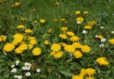 Feld mit Löwenzahn Gänseblümchen