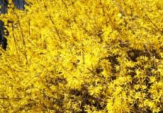 Forsythie gelb