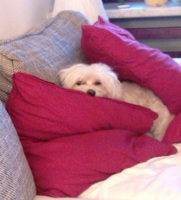 Hund Malteser Havaneser (2)