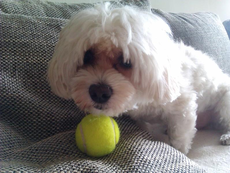 Hund Malteser Havaneser