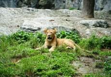 Löwe Thailand