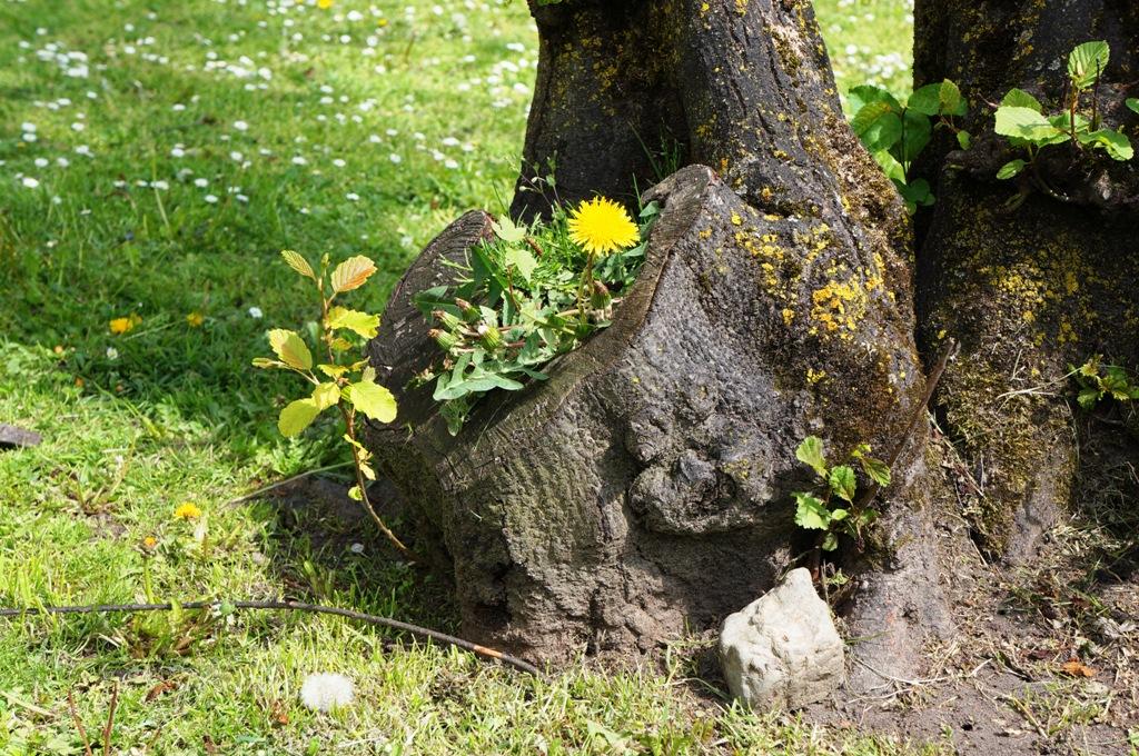 Löwenzahn auf Baumstumpf