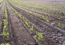 Petersilie Acker Agrar Saat