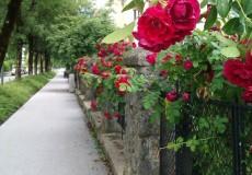 Rosen Blumen 1