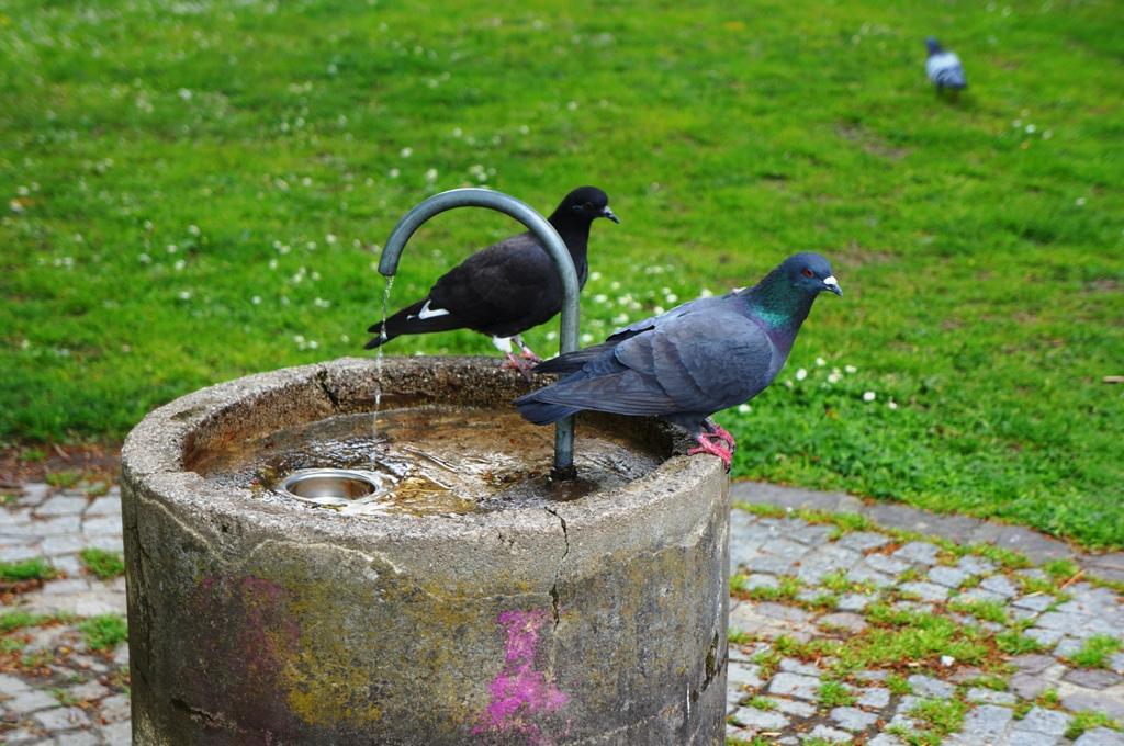 Tauben am Brunnen Wasser
