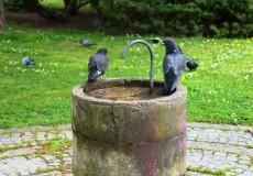 Tauben beim trinken
