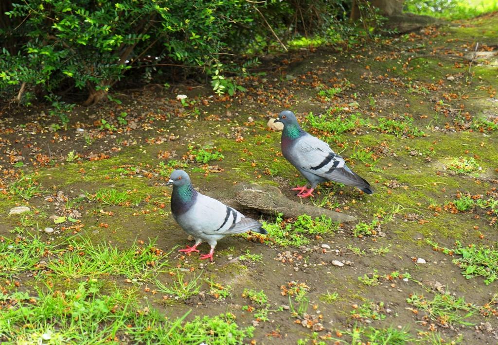 Tauben im Gras / Park