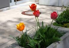 Tulpen bunt – rosa, gelb, rot