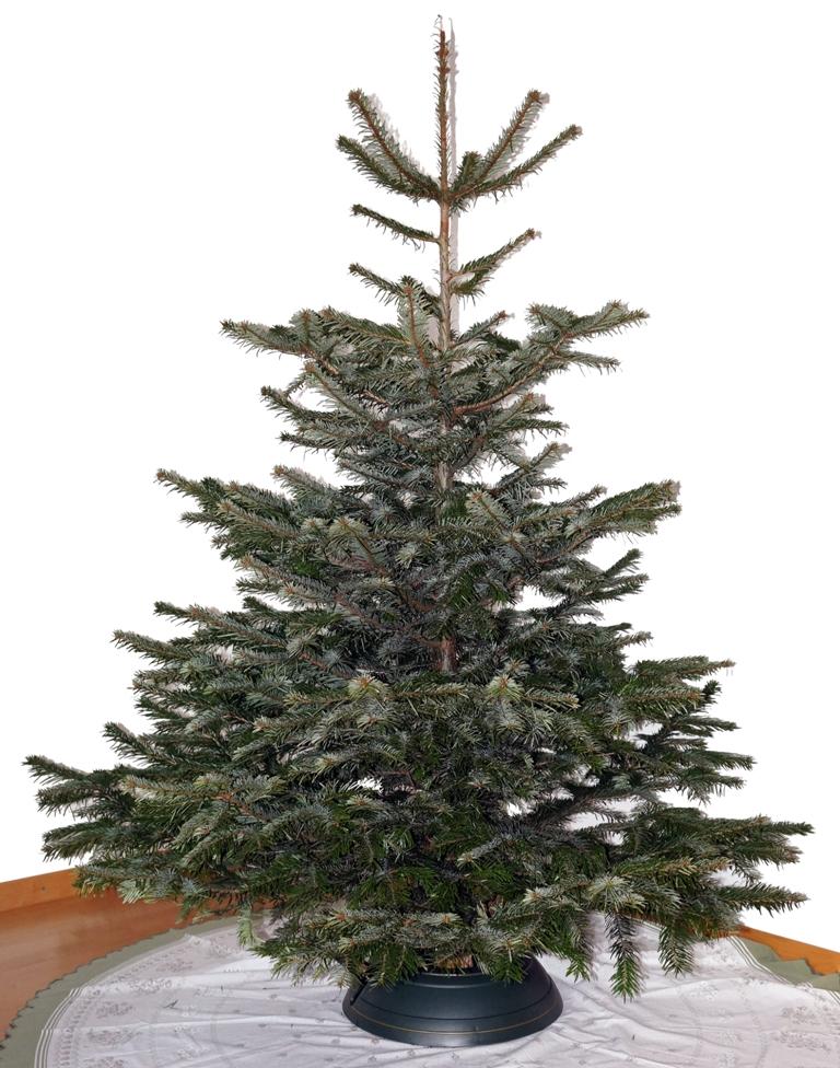Weihnachtsbaum ungeschmückt
