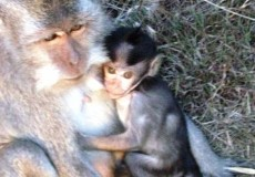 Affen Indonesien