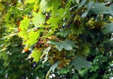 Ahornbaum Herbst