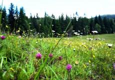 Blumen auf Almwiese