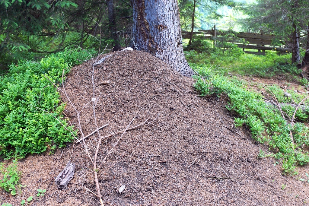 Ameisenhaufen Wald