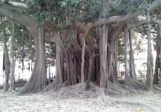Baum Sizilien