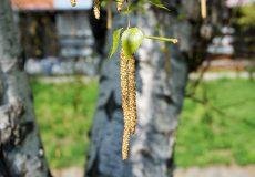 Birke mit Frucht / Nüsschen