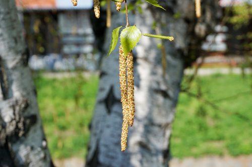 birke-frucht-nuesschen