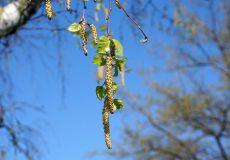 Birke mit Frucht / Nüsse