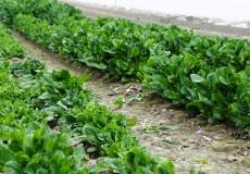 Blattspinat Feld Acker Agrar