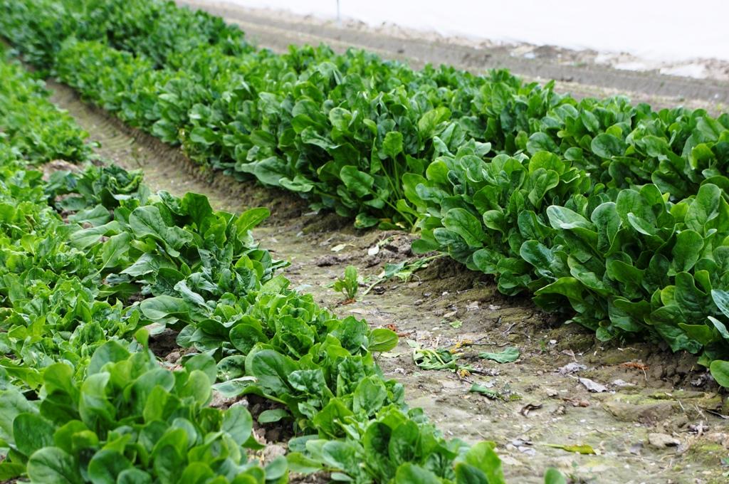 blattspinat-feld-acker-agrar