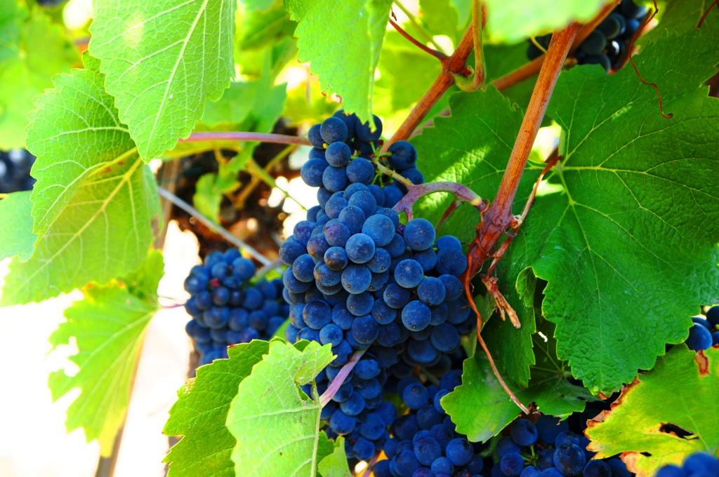 Bilder Blaue Weintrauben ~ blaueweintrauben