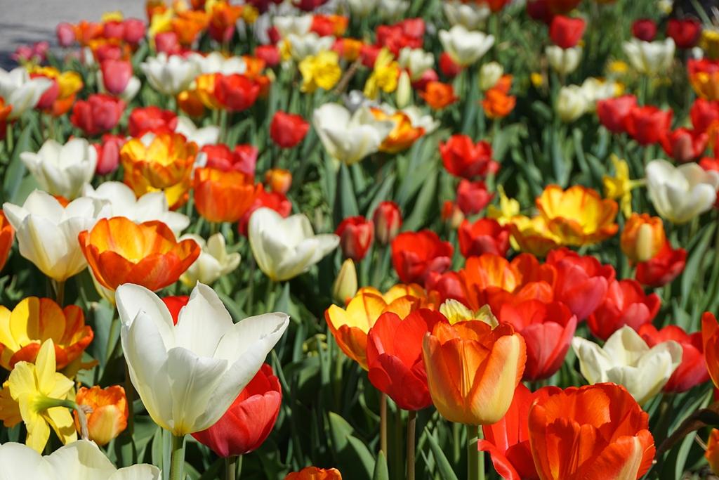 Blumen / Frühling / Tulpenmeer