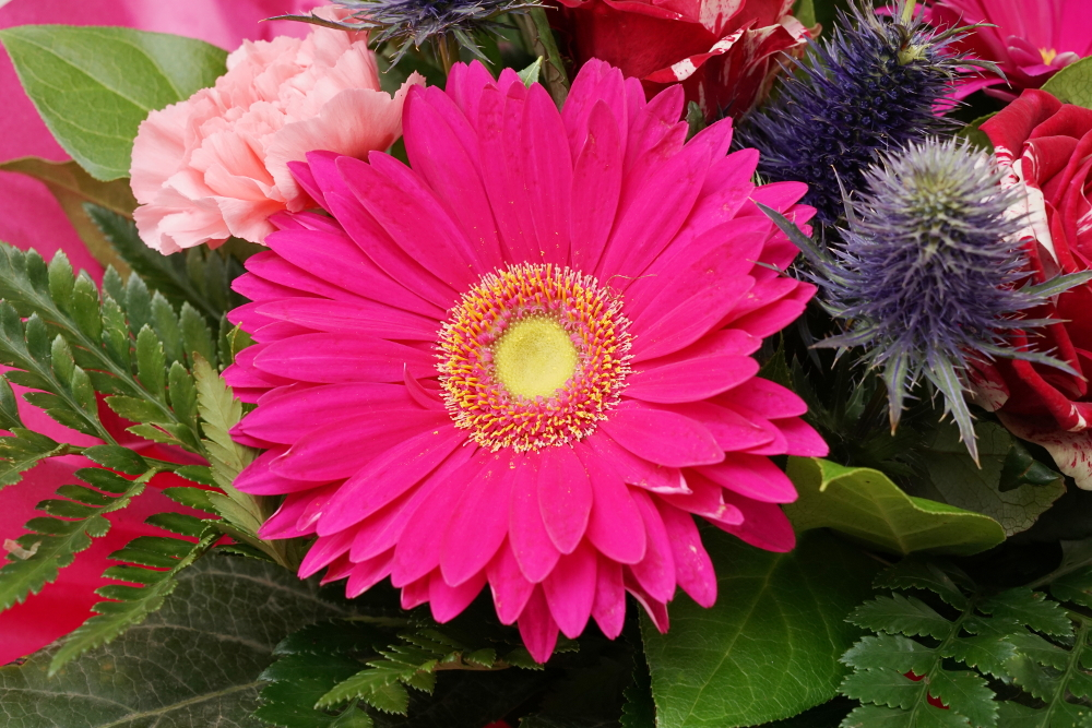 Blumen / Gerbera Pink