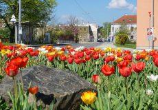 Blumen / Frühling / Tulpen / Narzissen