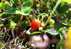 Erdbeerfeld Erdbeeren