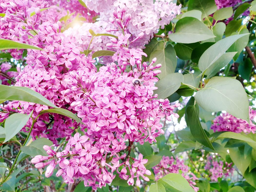 Flieder Frühling