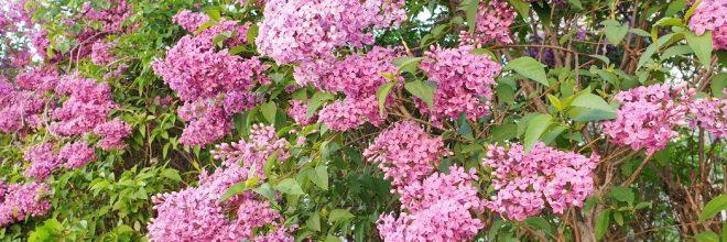 Flieder Strauch Frühling