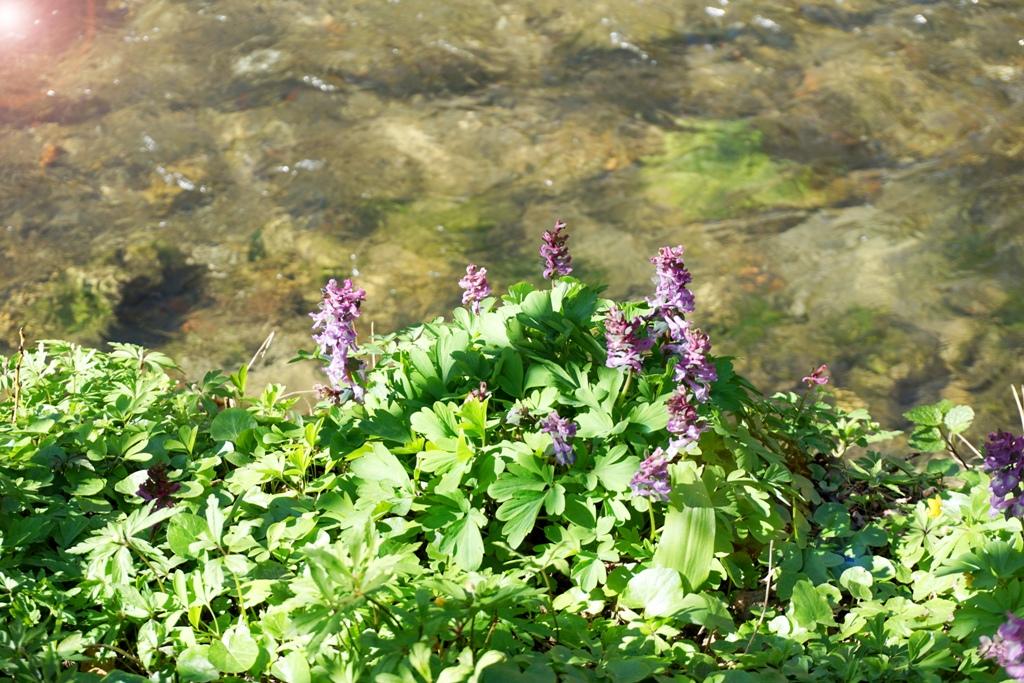 Frühling Blumen neben Fluss