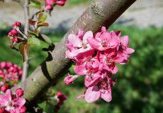 Frühling / blühender Kirschbaum rosa