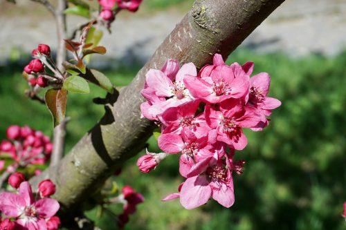 fruehling-bluehender-kirschbaum-rosa
