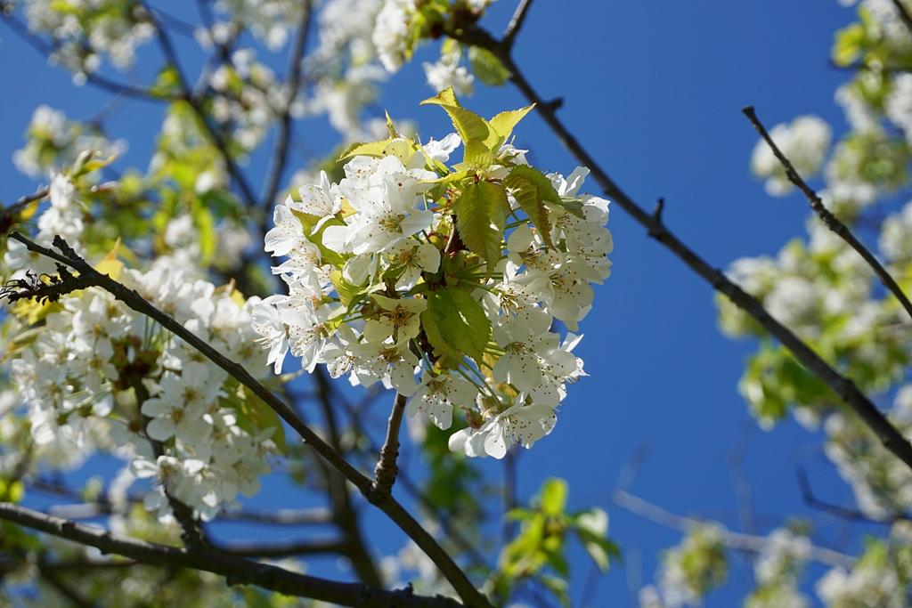 Frühling / blühender Kirschbaum weiß