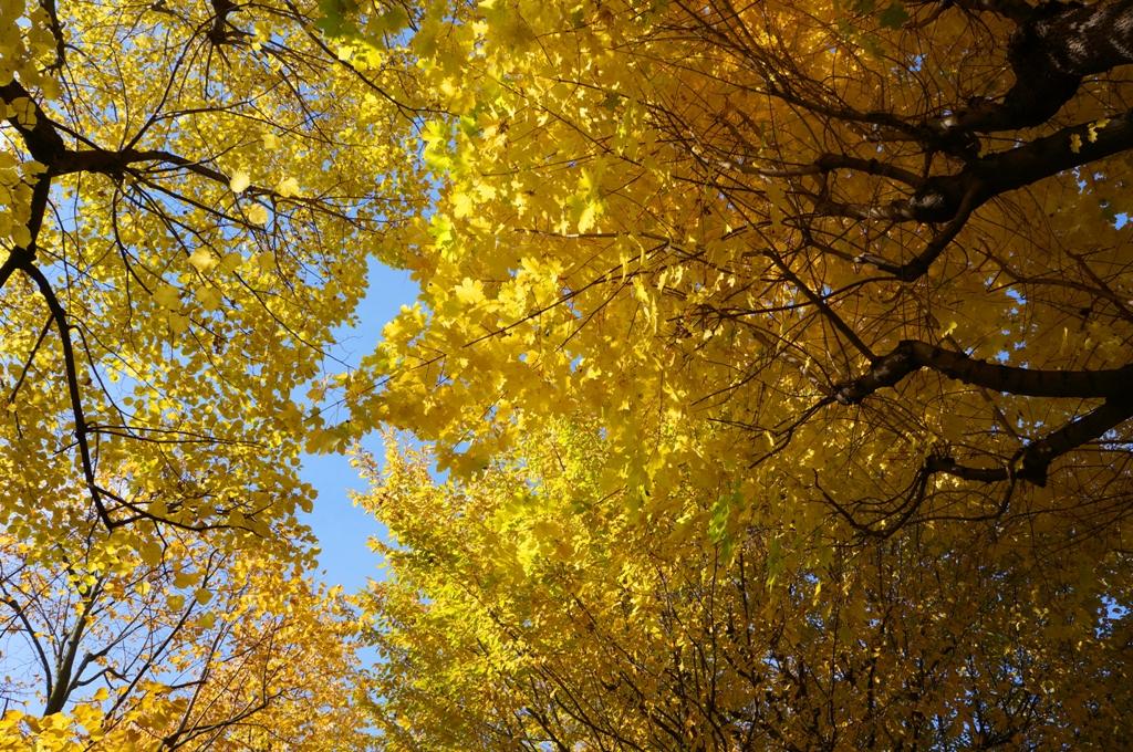 Herbst – gelbe Baumkronen
