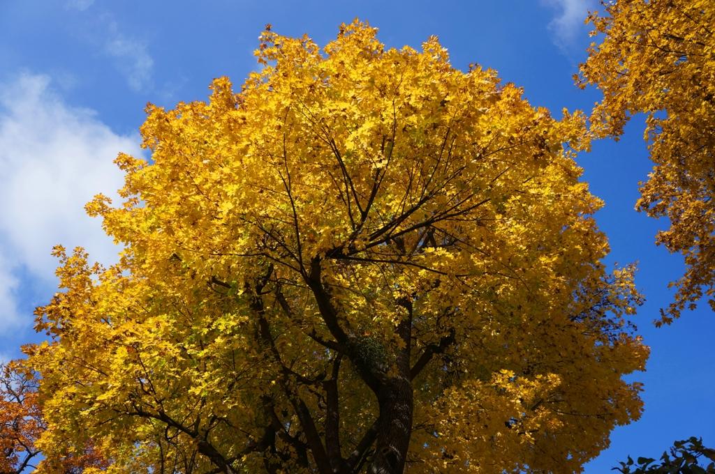 Herbst – gelber Baum