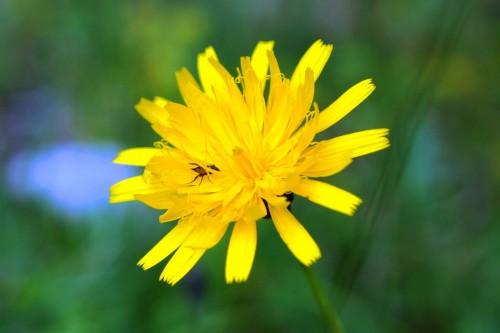 Habichtskraut Blüte
