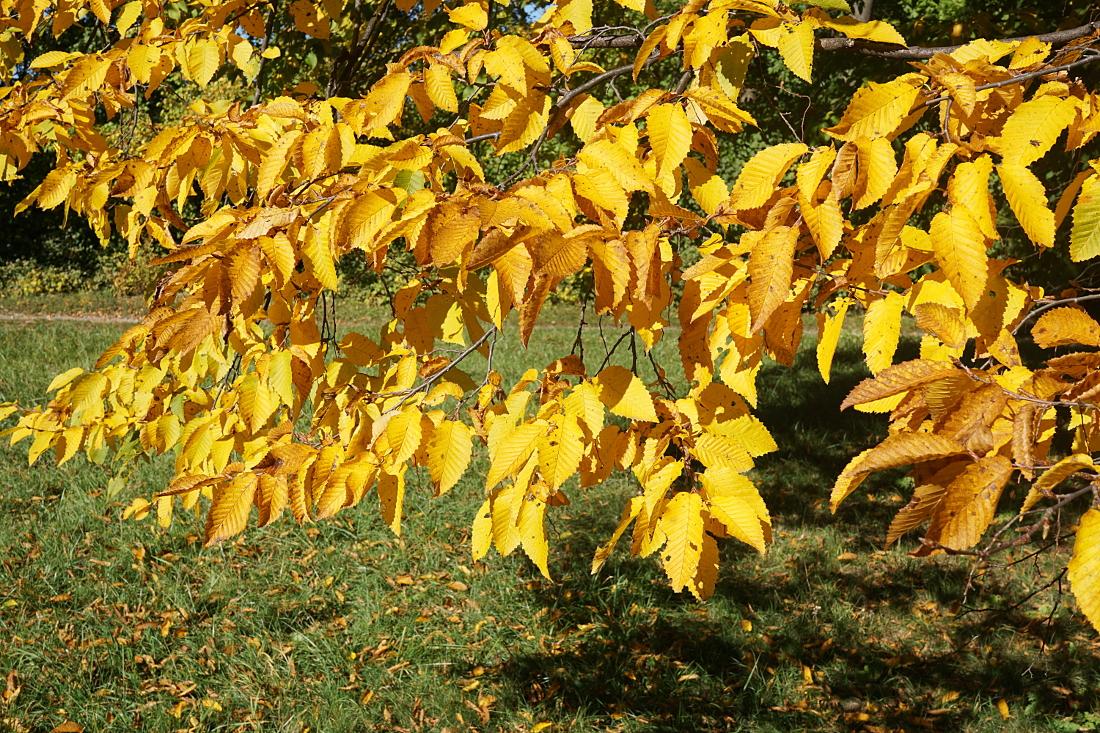 Herbst – goldene Blätter