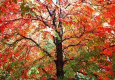 Herbstbaum mit roten und grünen Blättern
