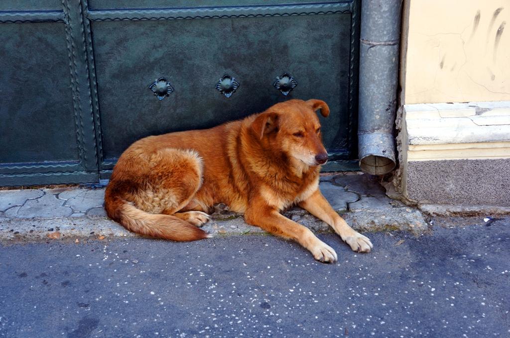 Hund in Belgrad