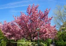 Farbenspiel am Kirschbaum