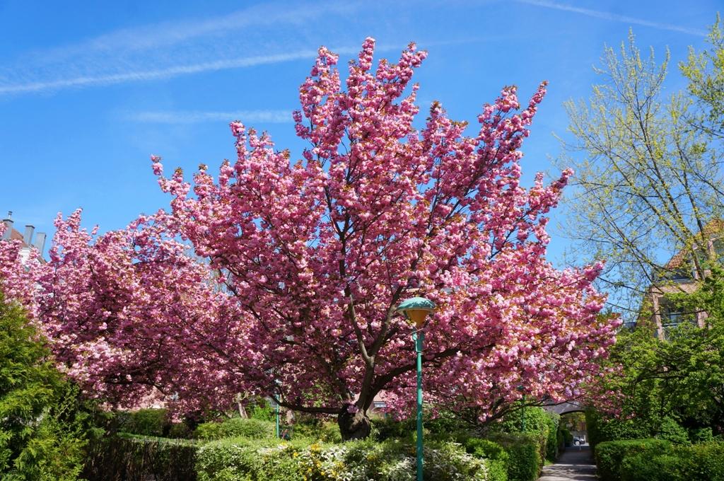 kirschbaum-farbenspiel