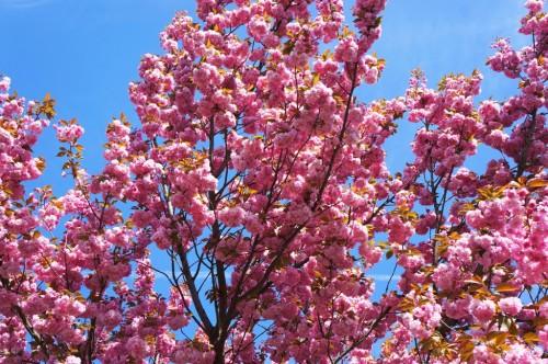 kirschbaum-kirschblüten