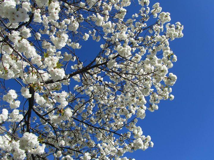 kirschbaum kirschbluehten