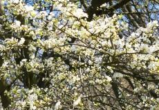 Kirschblüten Frühling