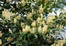 Kirschlorbeerhecke Blüten