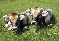 2 Kühe liege auf Almwiese
