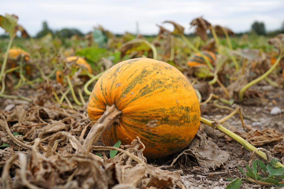 Kürbis am Feld / Herbst