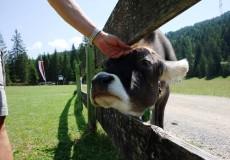 Eine Kuh wird gestreichelt