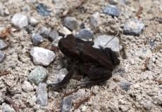 Laubfrosch auf Schotterweg